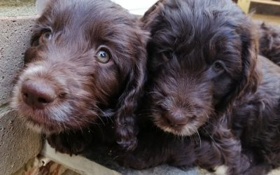 Socialisation and development of Puppies within the litter